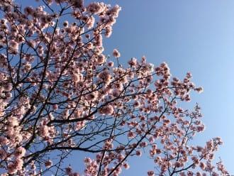 【北海道】誰說富良野只有薰衣草?富良野賞櫻私房景點