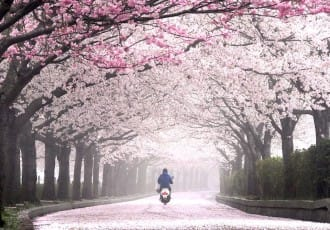 5 Relaxing Cherry Blossom Viewing Spots Near Kyoto