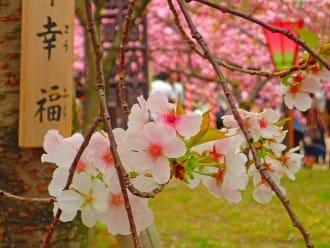 【大阪】關西賞櫻名所,百樣品種櫻花齊放「大阪造幣局」
