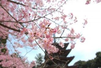 【京都】賞櫻旺季時最快的移動方式!地鐵東西線賞櫻篇