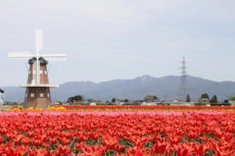 สวนมุระมัตสึ สวนชมซากุระชื่อดัง และทุ่งทิวลิปสุดสายตาที่นีงาตะ (Niigata)