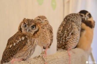 <div class='captionBox title'>Perch An Owl On Your Shoulder At The Akiba Fukurou Owl Cafe!</div>