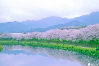 【山口縣賞櫻】櫻花紛飛的籃球場下享青春!海景、美食通通有!