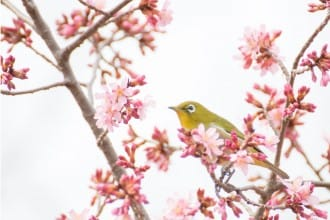 The Symbol Of Spring: Why Do The Japanese Love Sakura?