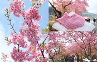 Kawazu Sakura Festival - View The Cherry Blossoms Early!