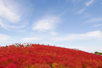 <div class='captionBox title'>國營常陸海濱公園「見晴之丘」,掃帚草鋪染的赤色絕景</div>