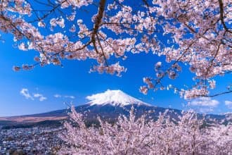 cherry blossoms near mt. fuji