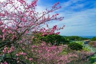 ไปดูซากุระที่บานเร็วที่สุดในญี่ปุ่นกัน! 5 เทศกาลซากุระในโอกินาว่า ปี 2020 (Okinawa)