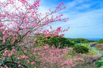 Top 5 Okinawa Cherry Blossom Spots to Visit in 2021