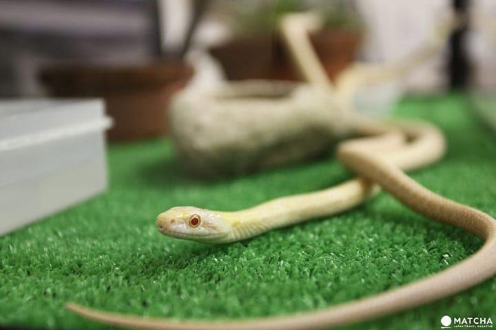"""""""งูขาว"""" อนุสรณ์สถานธรรมชาติหนึ่งเดียวในโลก จ.ยามากุจิ"""