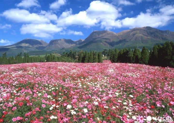22万㎡의 부지를 꽃이 가득 채운다! 오이타현 타케타시 「쿠쥬 꽃 공원」