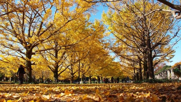 到東京起秋!一路從神宮外苑,秋到東京大學