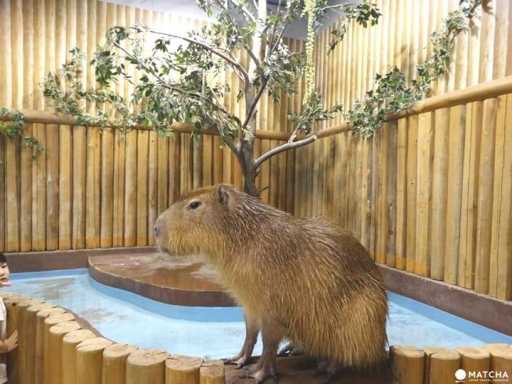 【大阪】超療癒「天保山室內動物園」羊駝水豚伴身邊