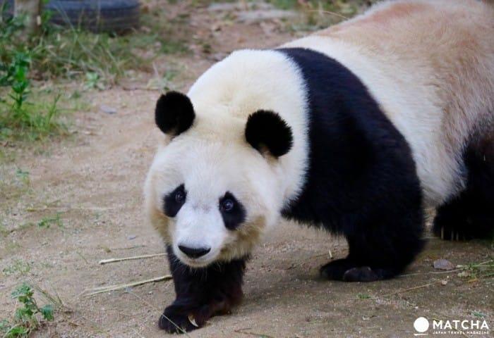 ジャイアントパンダとコアラの両方が楽しめる神戸市立王子動物園
