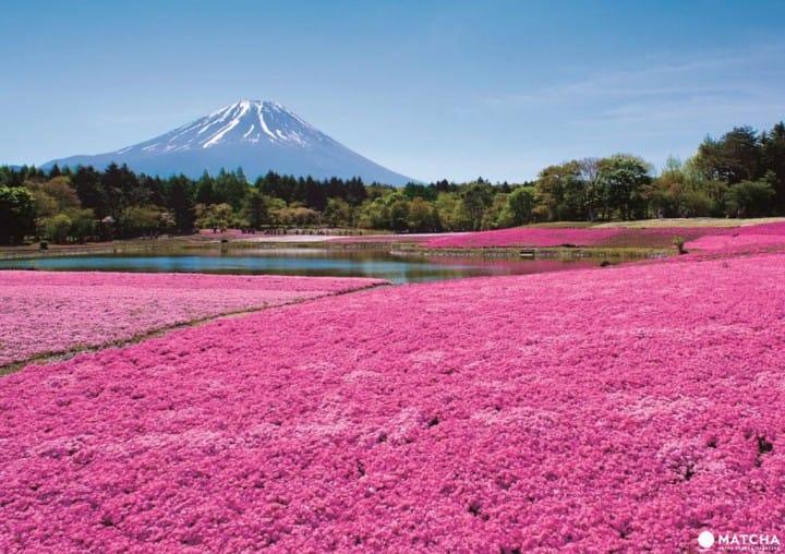 Yuk Melihat Pesona 80 Ribu Shibazakura dan Pemandangan Gunung Fuji!