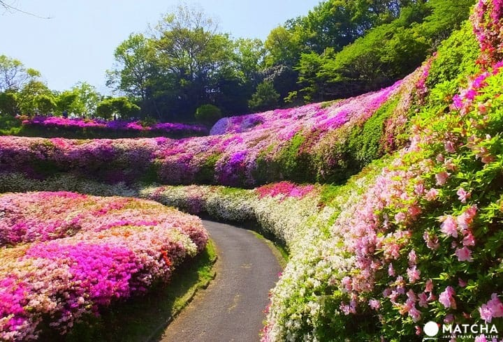 Prepare For Spring! A Sea Of Azaleas At Narukawa Garden, Mt. Ikoma