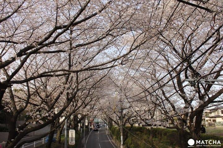 See A Pink Tunnel Made Of Cherry Blossoms At Sakurazaka, Tokyo!