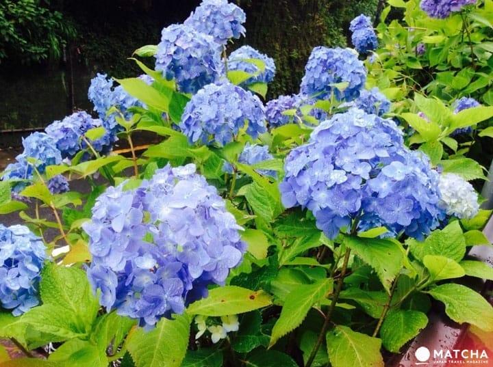 """도쿄 주변에서 즐길 수 있는 장마의 꽃 """"수국"""