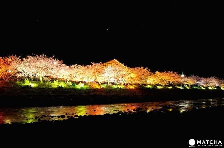 후지산, 온천, 성곽과 함께! 간토 (도쿄 주변)의 벚꽃 성지 7곳 (2019년)