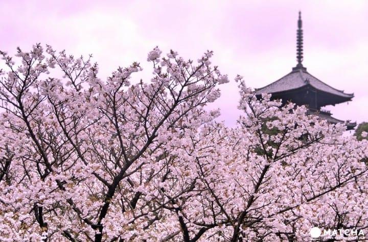แนะนำ 15 สถานที่ชมซากุระบานยอดนิยมในเกียวโต (ข้อมูลปี 2018)