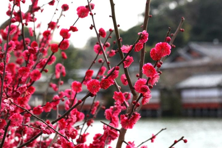 Plum Blossoms - The Original Japanese Sign Of Spring