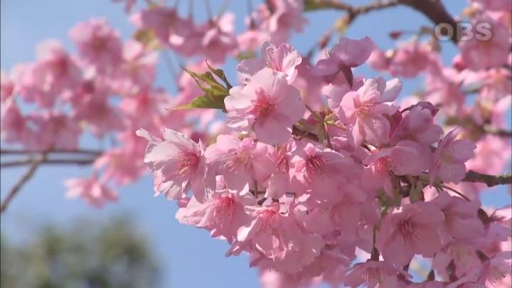 100 Gambar Pemandangan Bunga Sakura Yg Indah Paling Hist