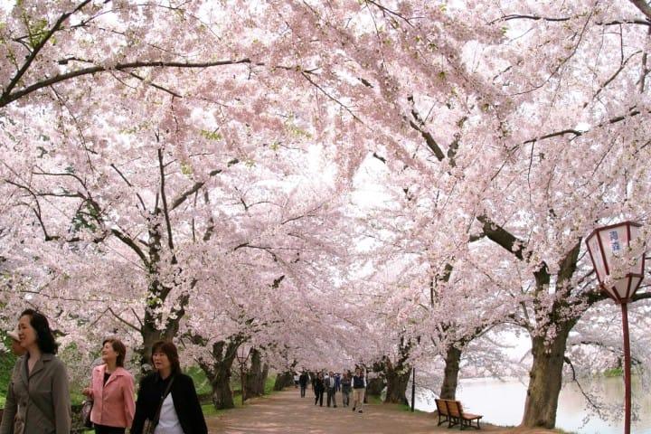 弘前櫻花祭 櫻花隧道
