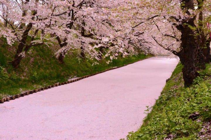 弘前城 櫻花地毯