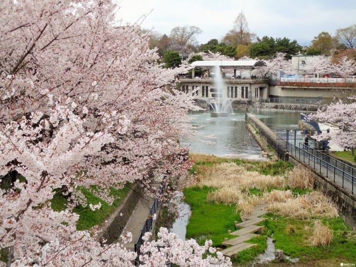 【京都】搭上走訪京都著名景點的「洛巴士」,開啟京都賞櫻之旅吧!