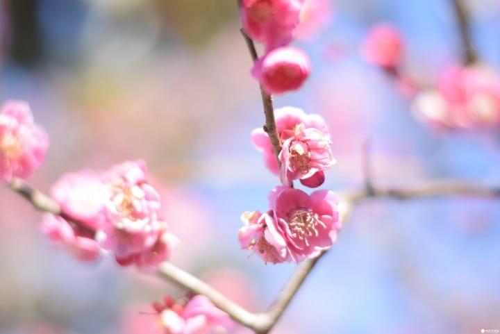 4 แหล่งท่องเที่ยวให้สัมผัสได้ถึงฤดูทั้งสี่ของประเทศญี่ปุ่นในจังหวัดคานากาว่า ทั้งดอกบ๊วย ใบไม้เปลี่ยนสี เก็บส้ม ฯลฯ