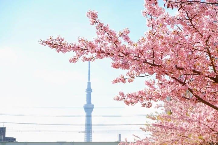 2月・3月想看樱花?东京都内早樱地点