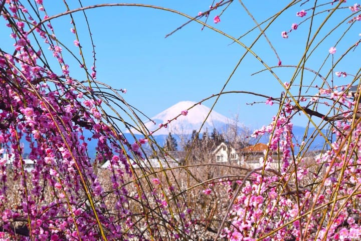 Celebrate The Coming Of Spring At The Odawara Plum Festival!