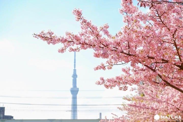 เดือนกุมภาพันธ์และมีนาคมก็มีซากุระให้ดู! พาชมซากุระก่อนใครในโตเกียว