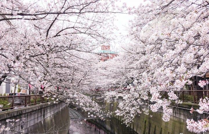 แนะนำ 5 สถานที่ชมซากุระสวยๆ กลางโตเกียวแบบคนไม่แน่น!