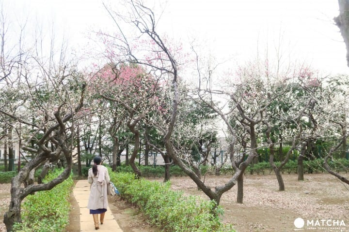Hanegi Park - View Elegant Plum Blossoms In Tokyo!