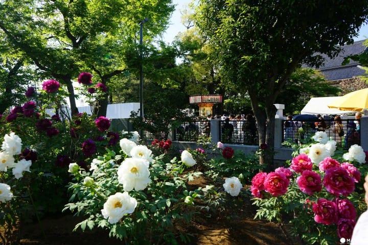 西新井大師の「花まつり」で神輿擔ぎに挑戦!