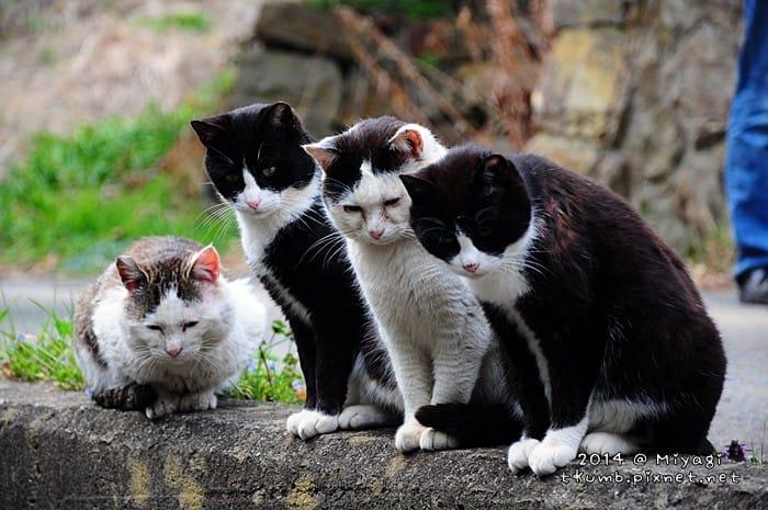 让猫奴必疯狂的宫城县田代岛