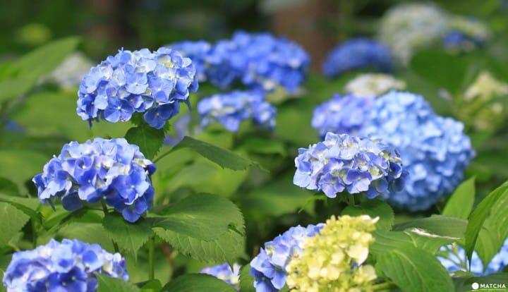 Hydrangea Festival In Toshimaen: A Flower Paradise In The Rainy Season