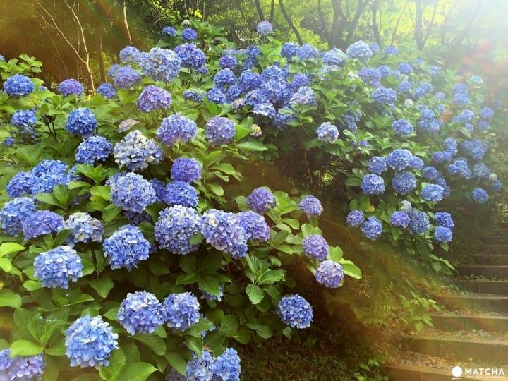 【東京近郊】在地人都愛去的祕密花園,「高幡不動尊」繡球花秘境