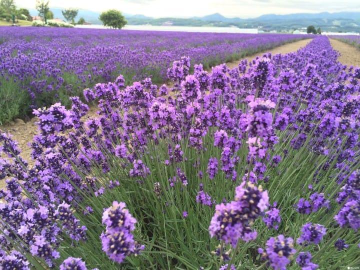 Lavender East