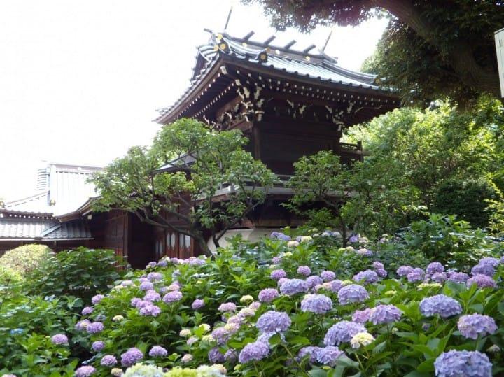 看繡球花不用人擠人!東京市區「白山神社繡球花祭」