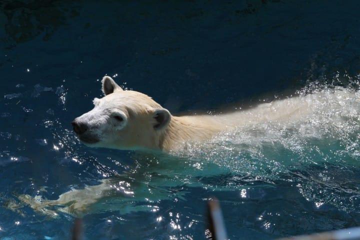 北極熊天王寺動物園
