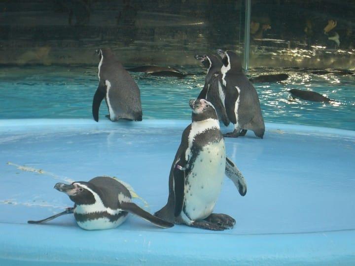 天王寺動物園企鵝