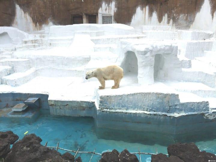 天王寺北極熊(1)