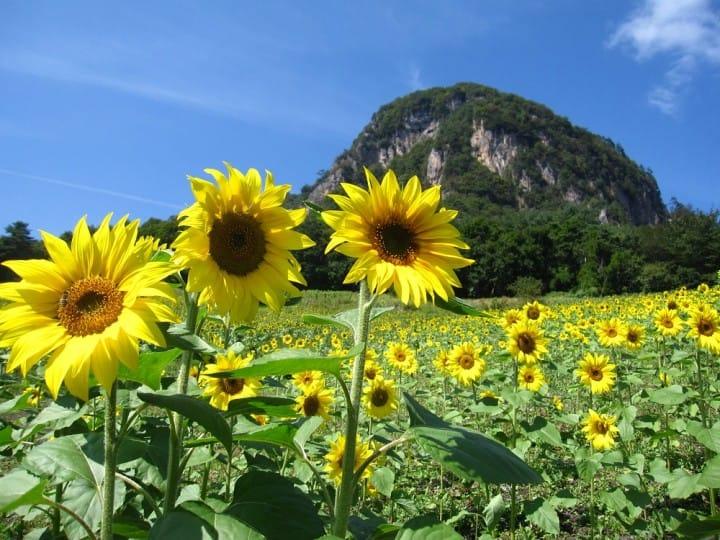 [专栏]夏之花 向日葵   和在山里面的我。