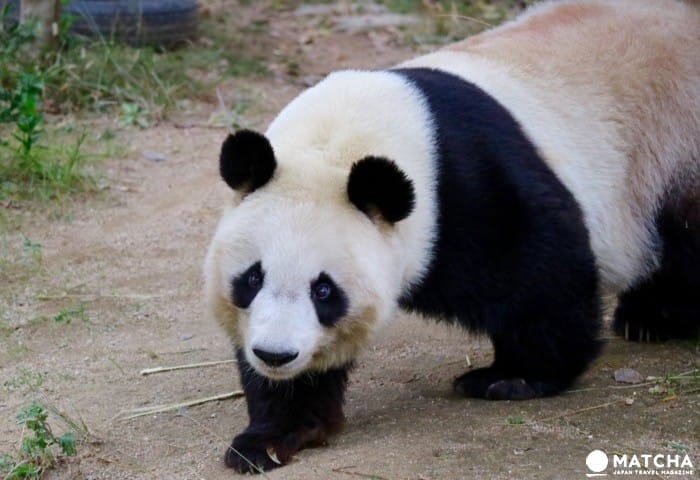喜欢大熊猫?也喜欢考拉?那就来神户市立王子动物园吧
