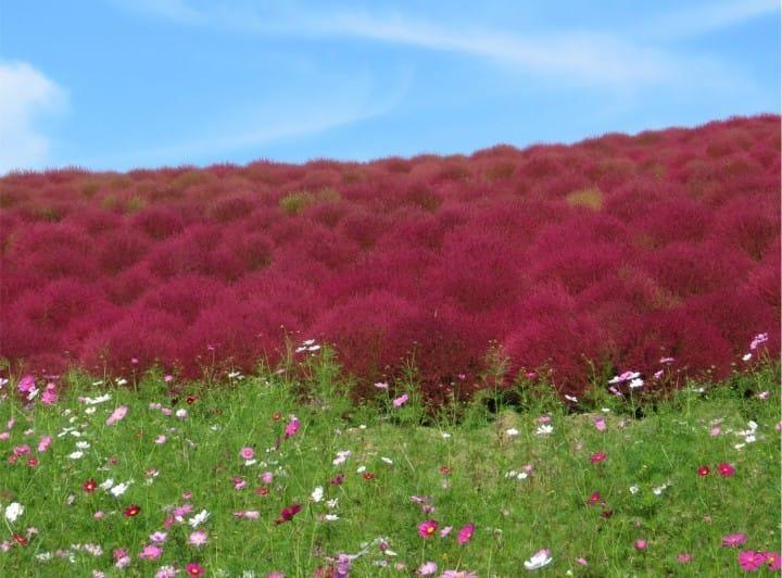 Más que sólo hermosas hojas: Las flores de otoño de Japón
