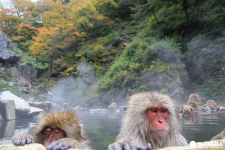 【長野縣】去「地獄谷野猿公苑」看日本猴子泡湯!