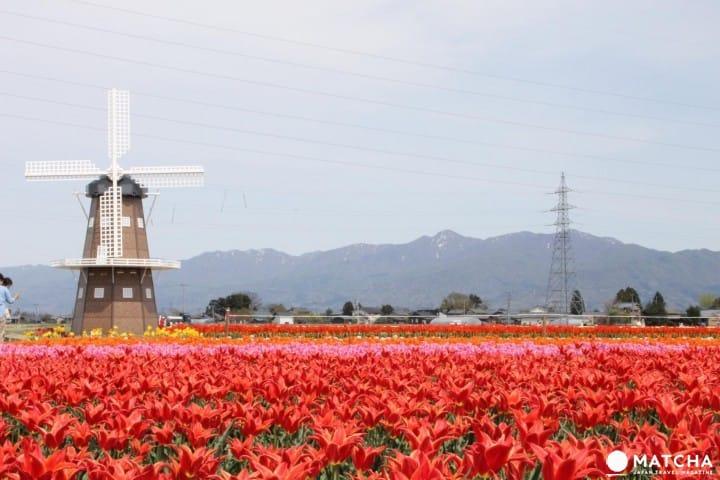 【新潟】日本賞櫻勝地100選之「村松公園」和「鬱金香花田」