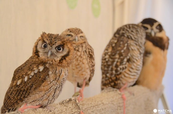 Perch An Owl On Your Shoulder At The Akiba Fukurou Owl Cafe!